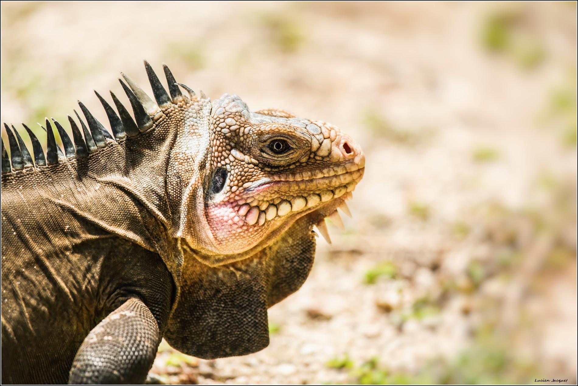 Iguane terrestre.