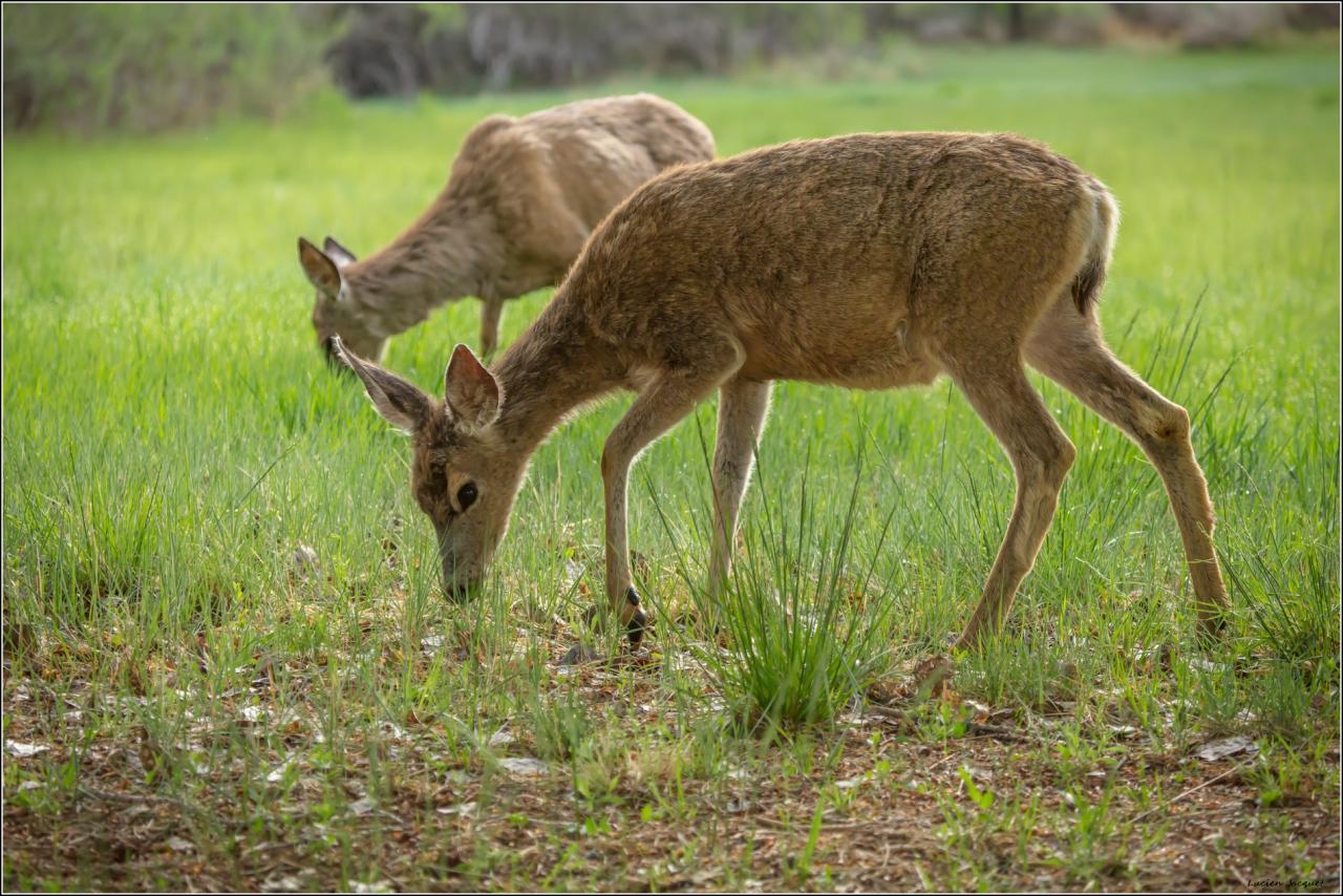 Mule Deer (grandes oreilles)