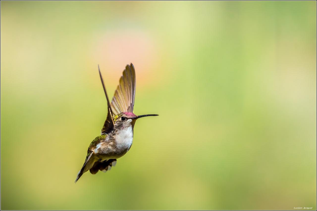 Colibri d'Amérique du nord, Utah, U.S.A
