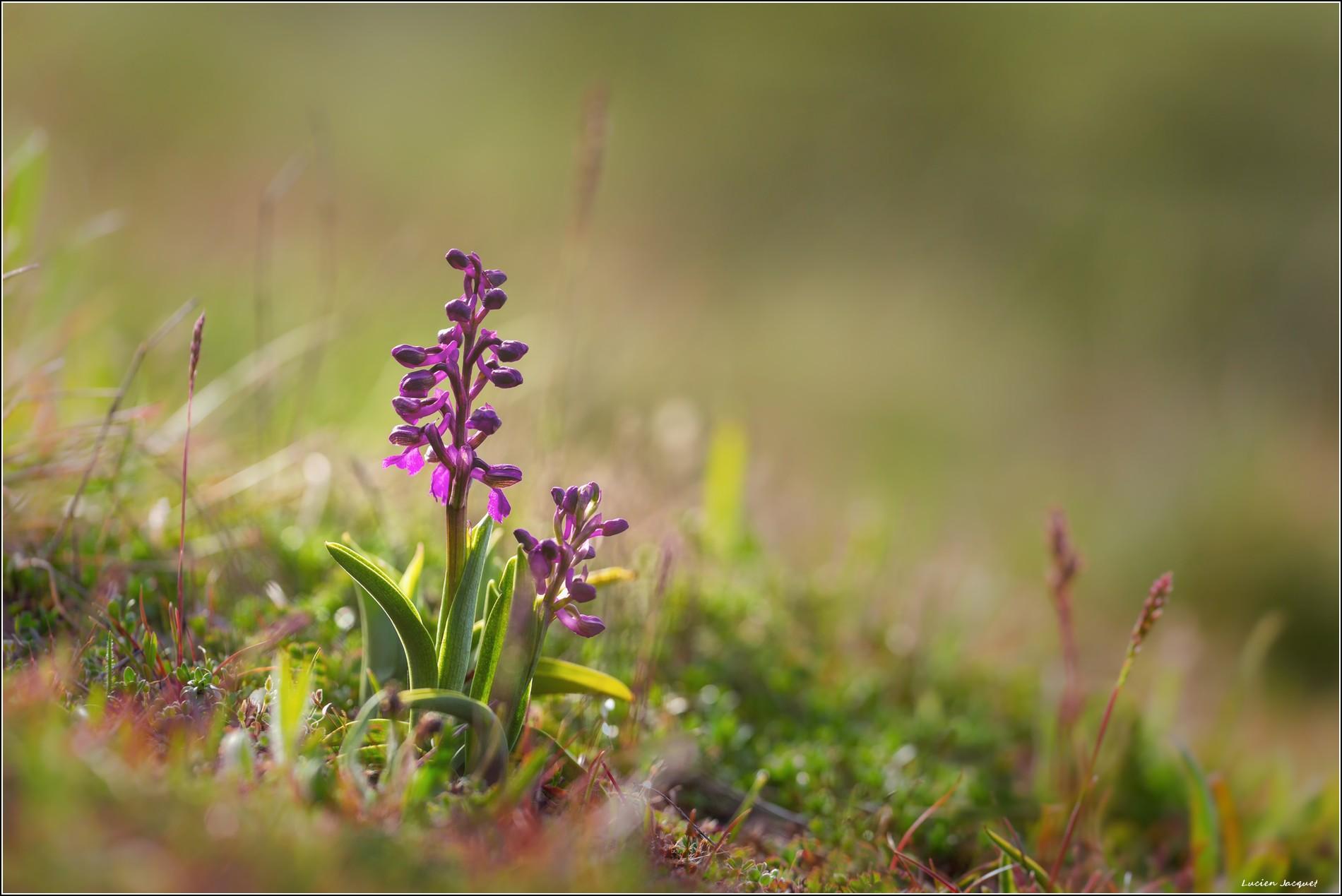 Premières orchidées 2019.