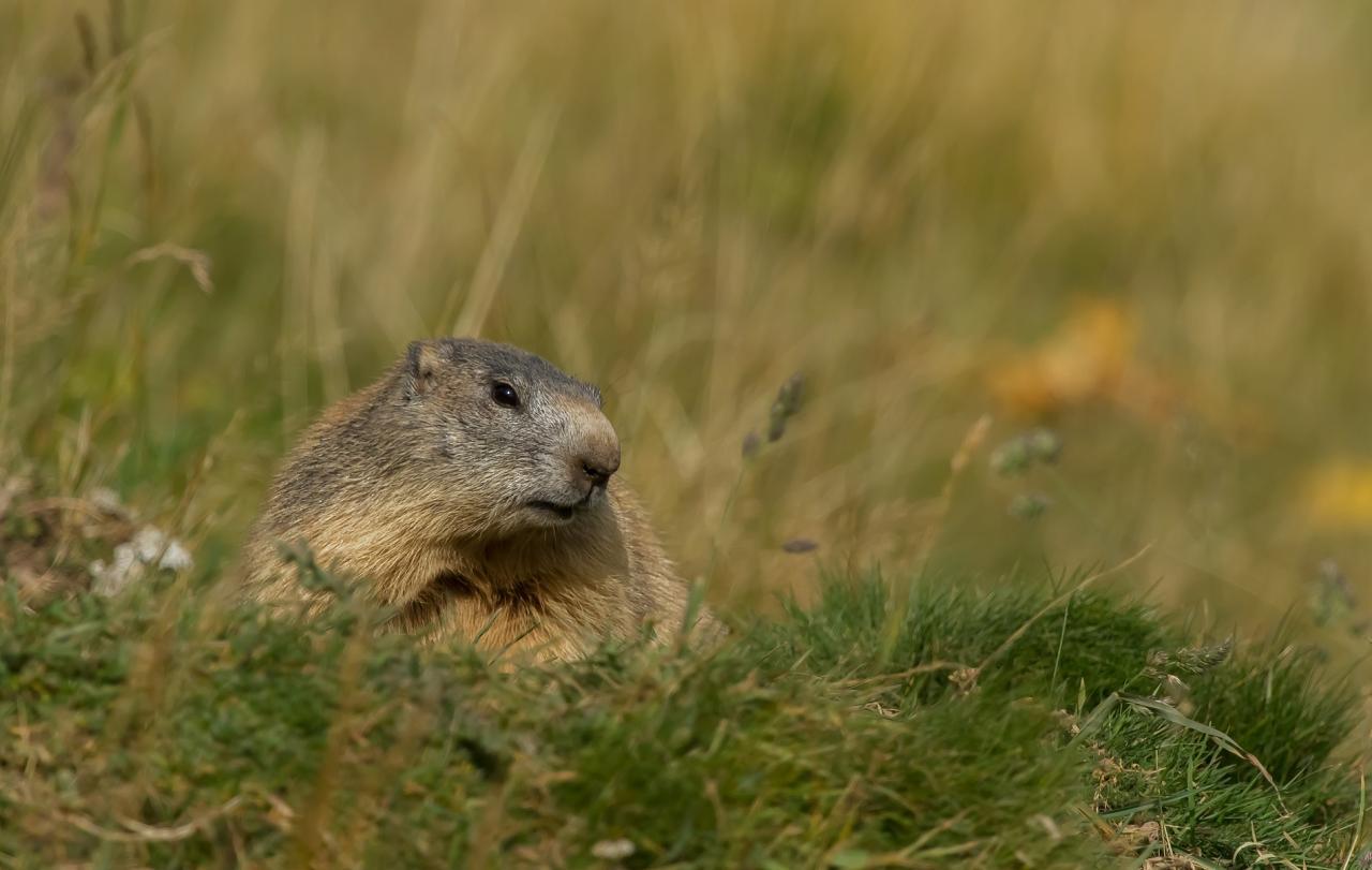 Marmotte en automne Mezenc