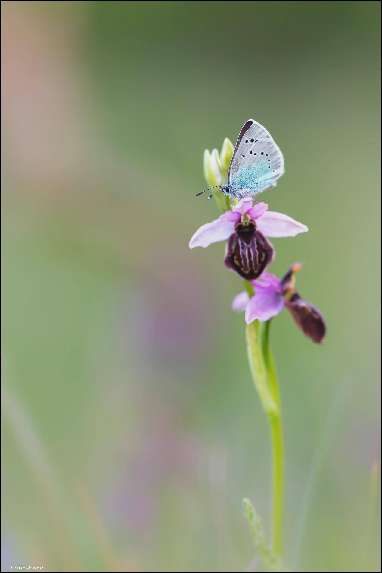 Dortoir de luxe... Pour cet Argus posé sur hybride d'Ophrys aveyronensis