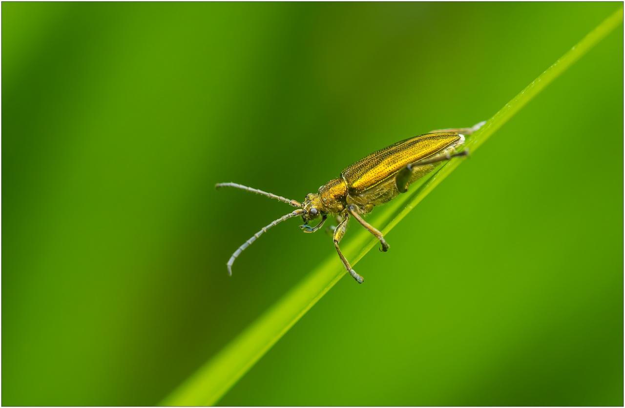 Donatia reticulata