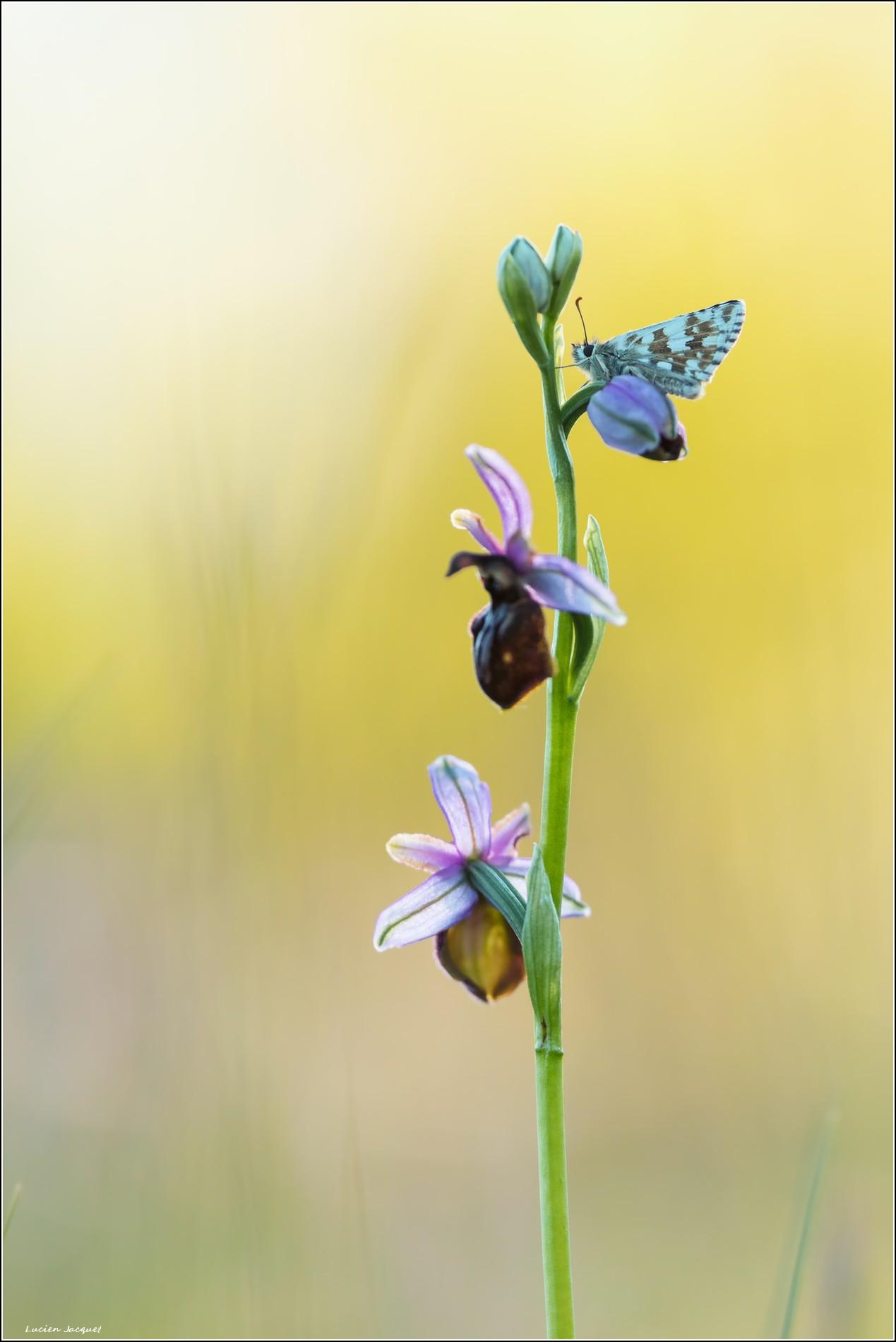 Au lever du jour...un papillon frileux