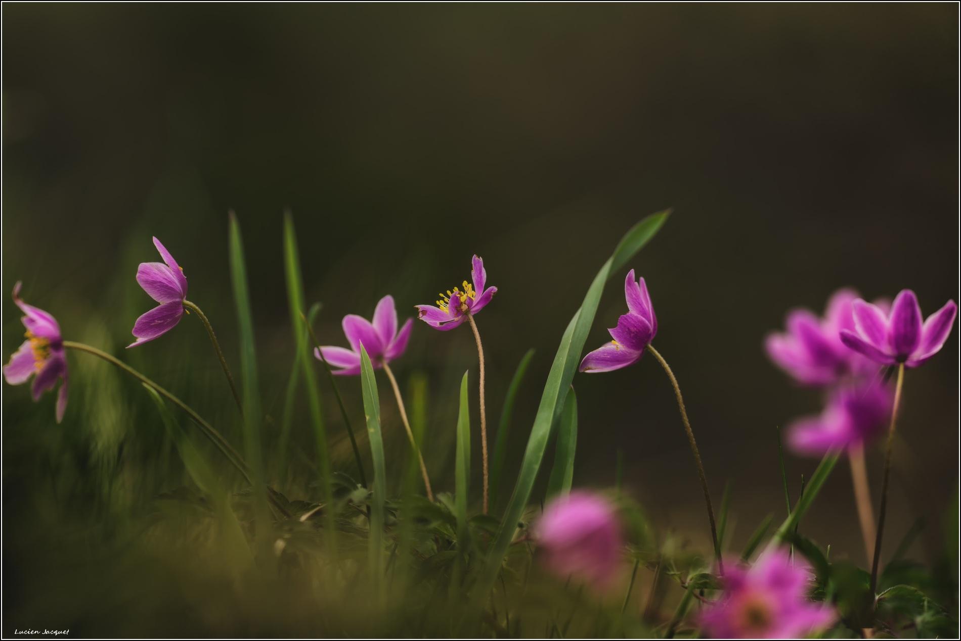 bouquet d'anémones sylvie