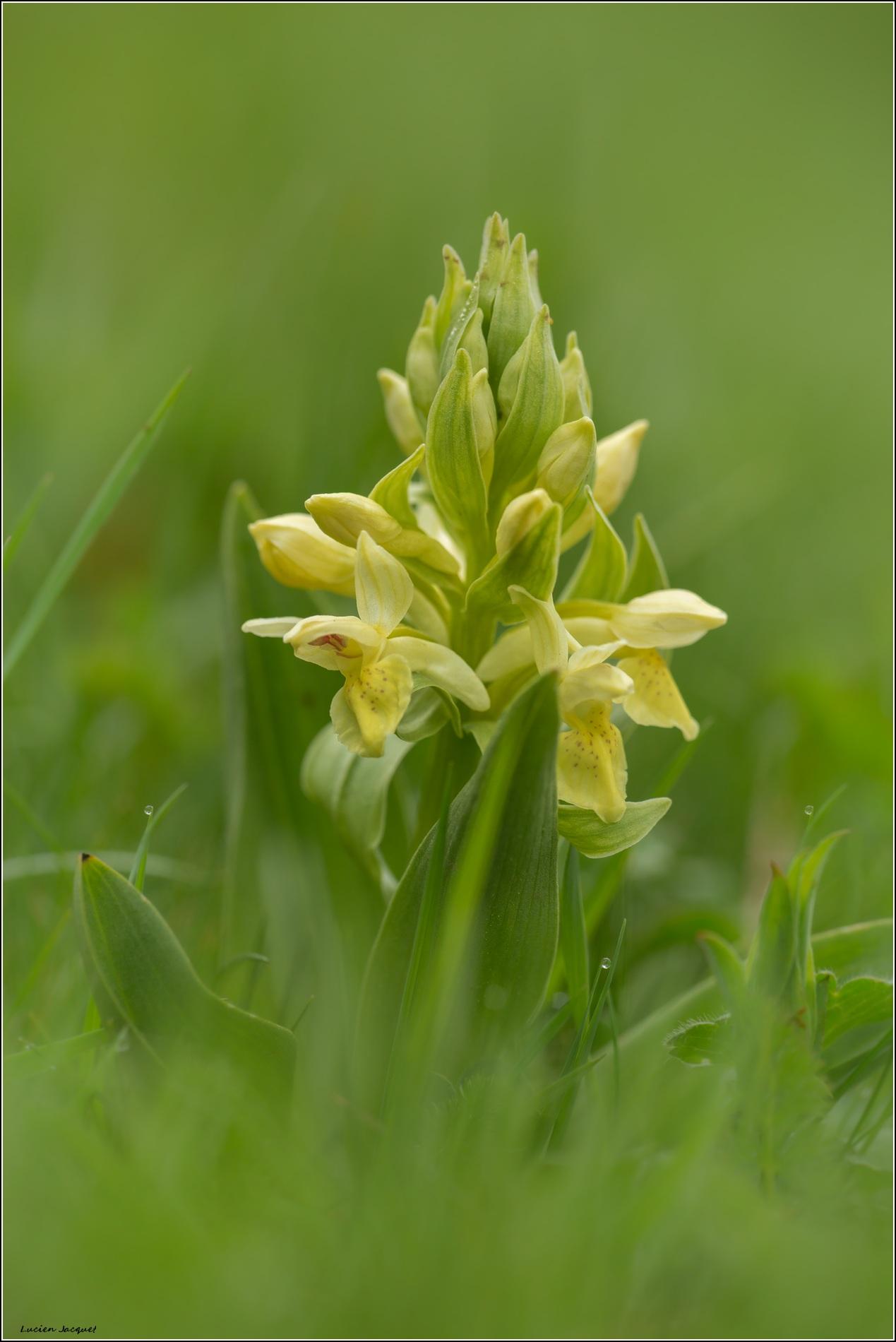Orchis sureau jaune.