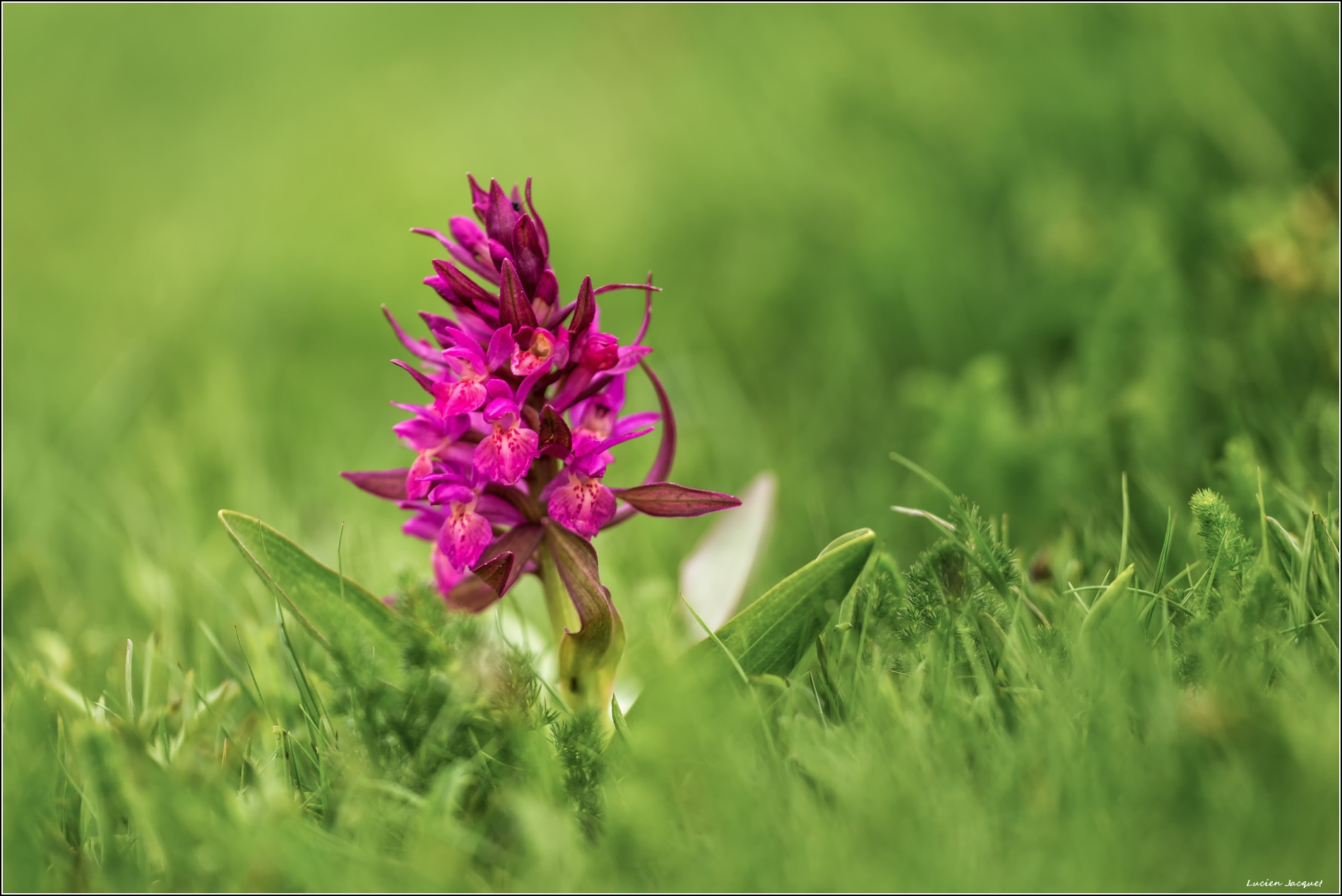 Orchis sureau rouge.