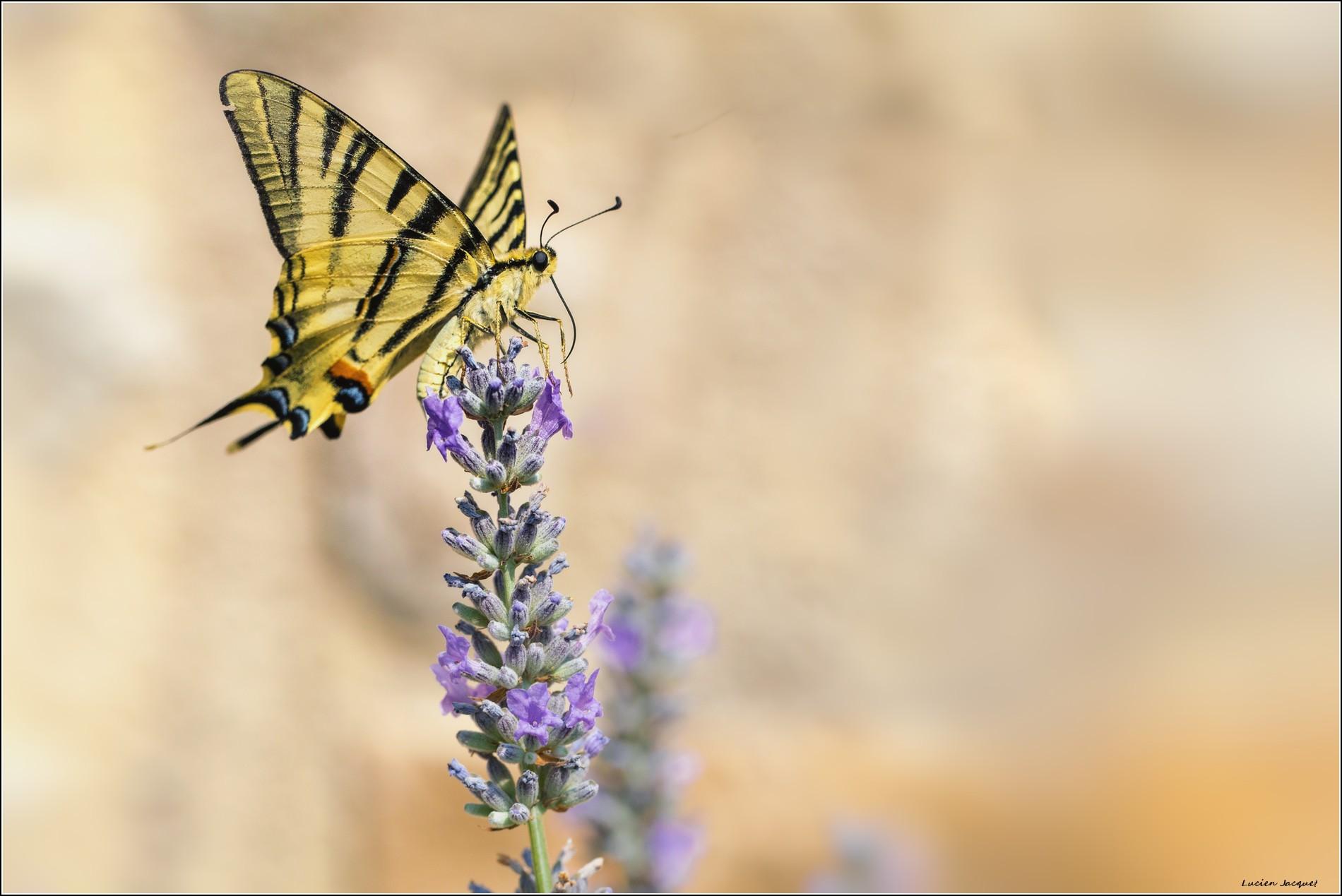 ivresse du nectar.