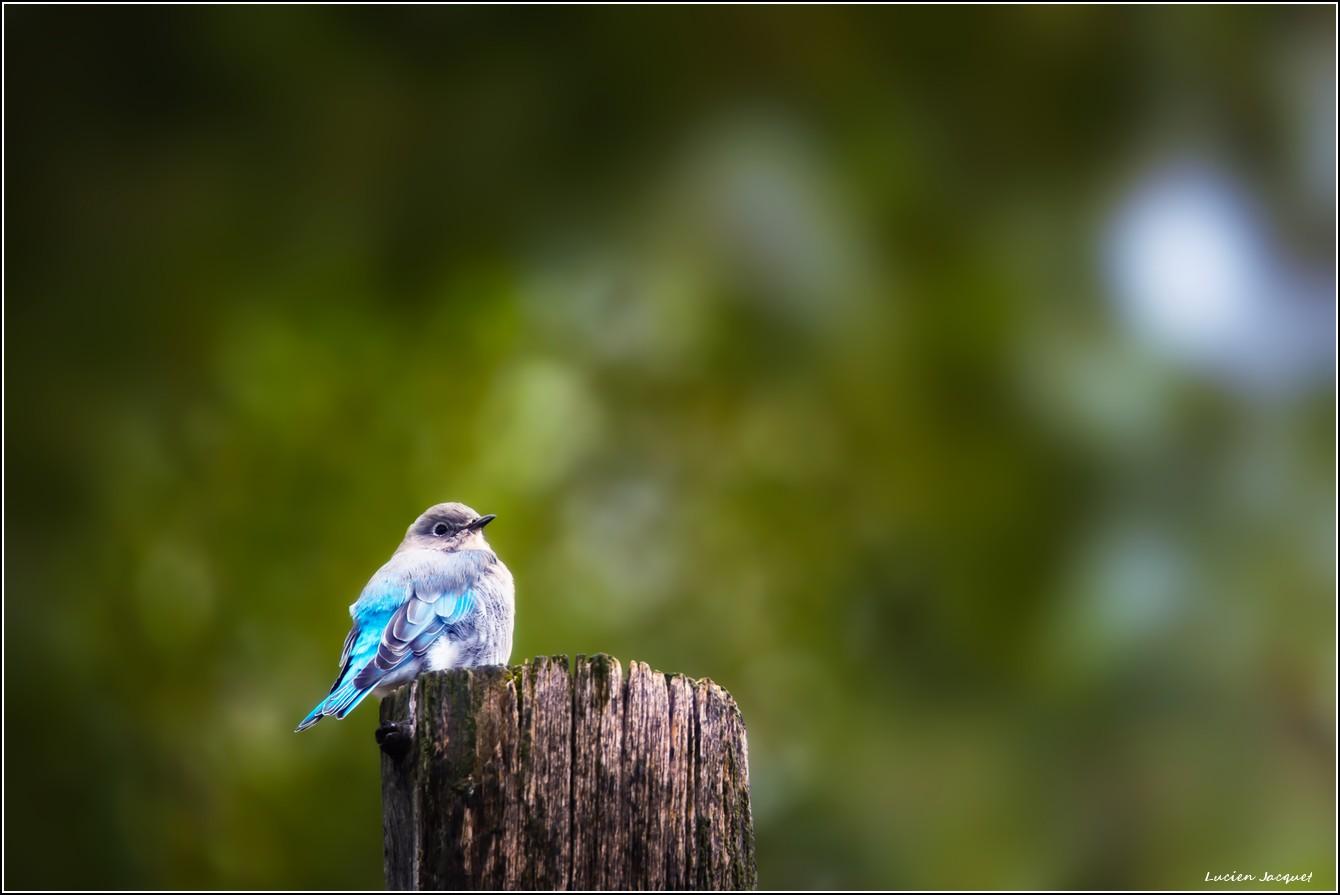 Blue mountain bird