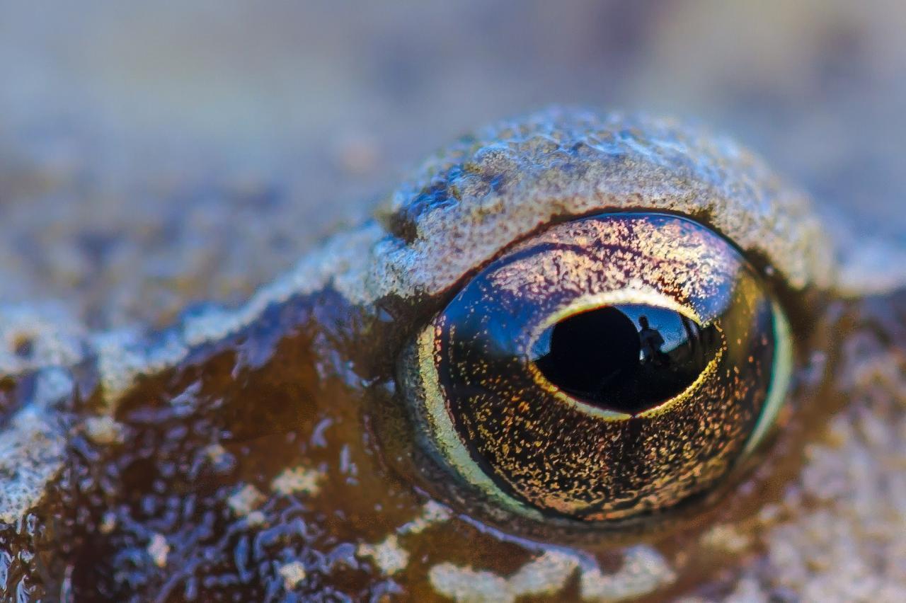 Dans l'oeil de la grenouille rousse