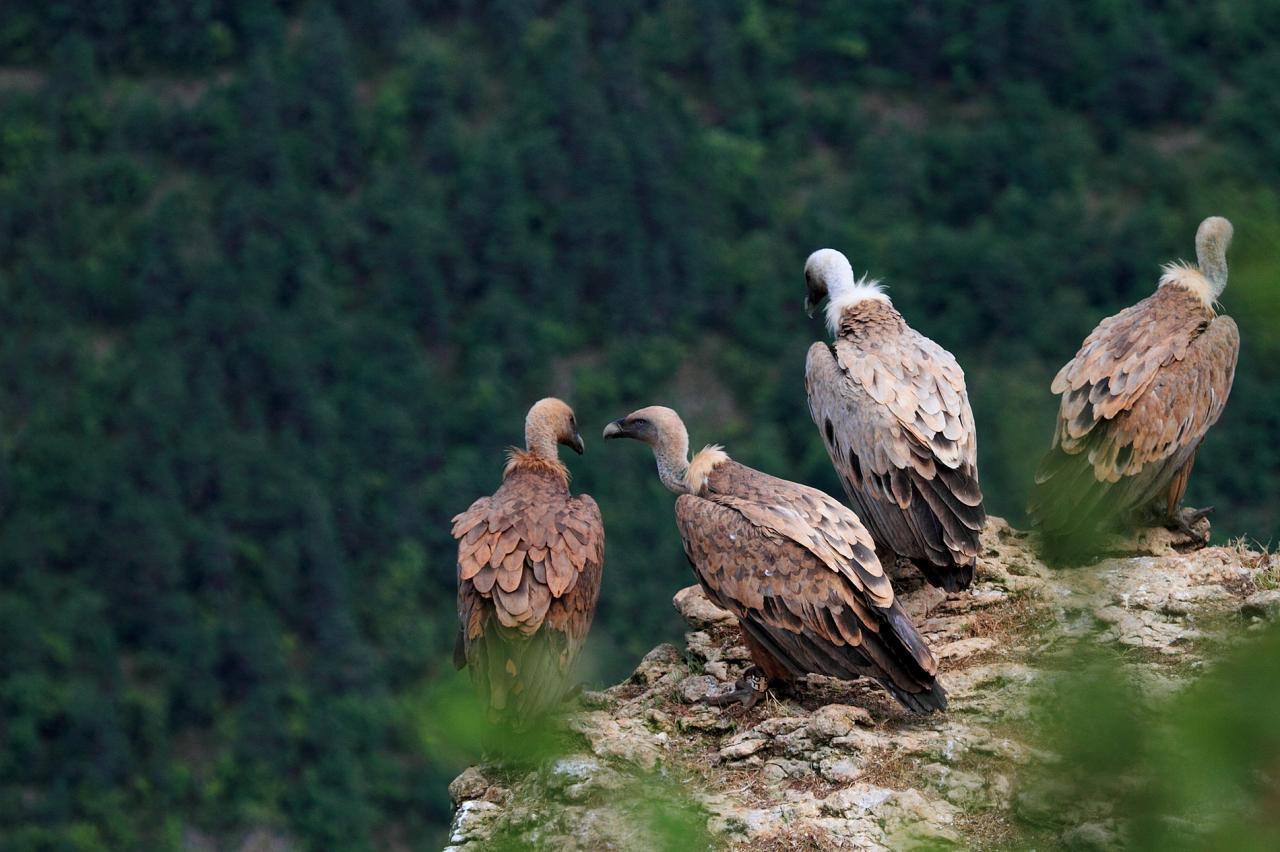 Messes basses chez les vautours