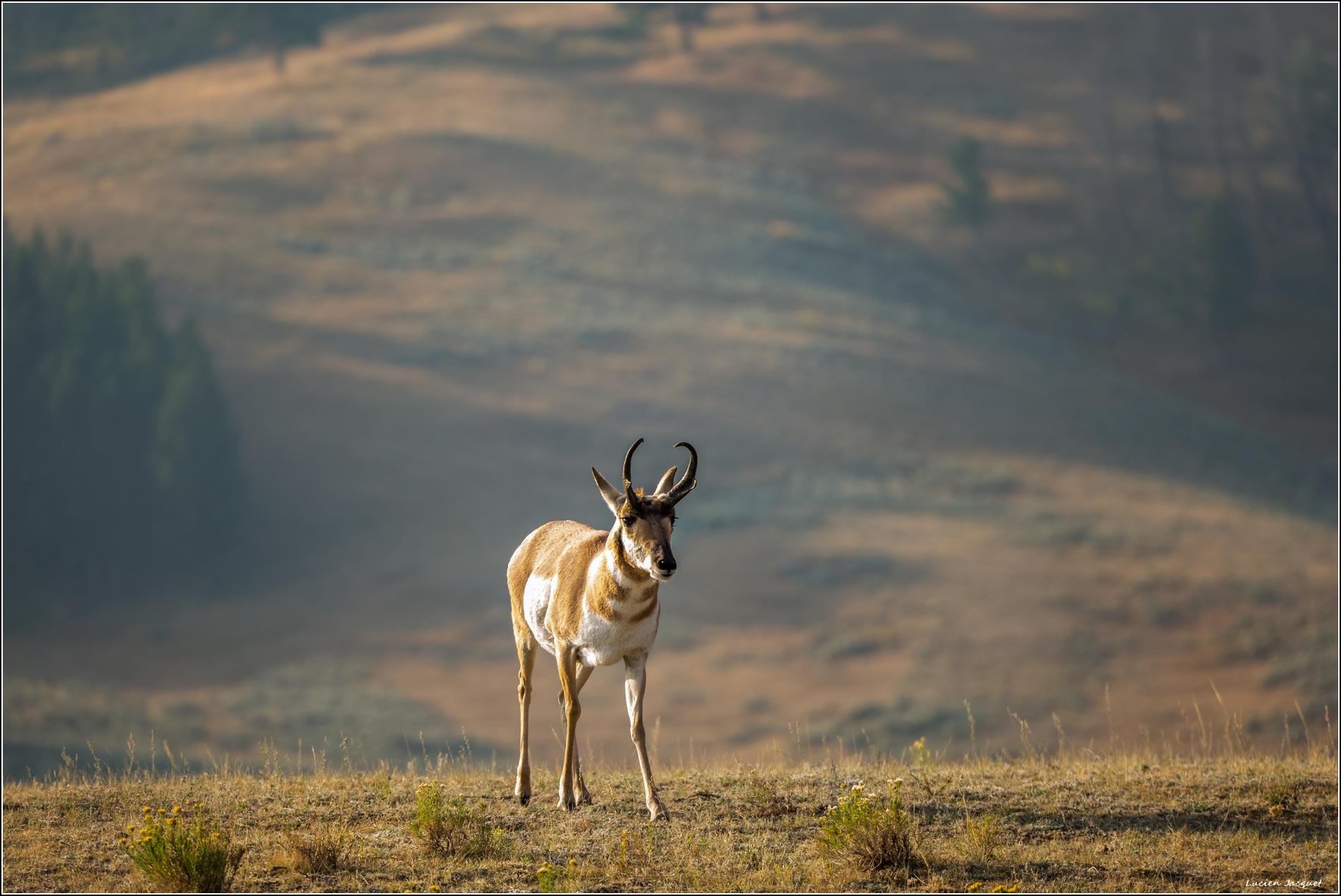 Pronghorn, antilope d'Amèrique du nord