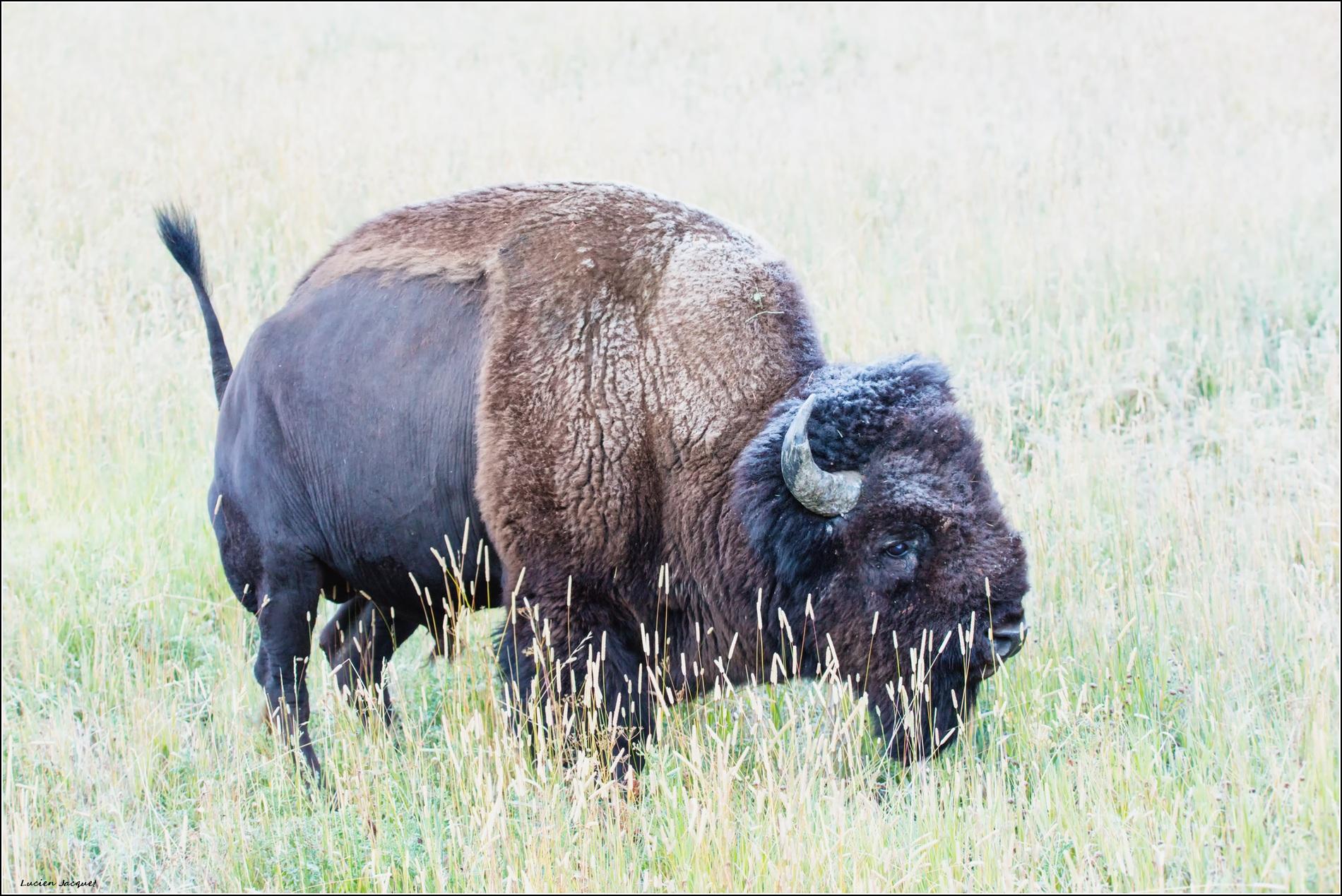 Bison givré au petit matin.