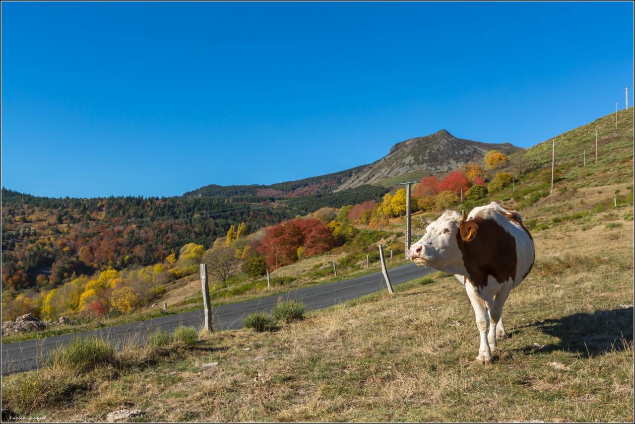 Que la montagne est belle.(version bovine)