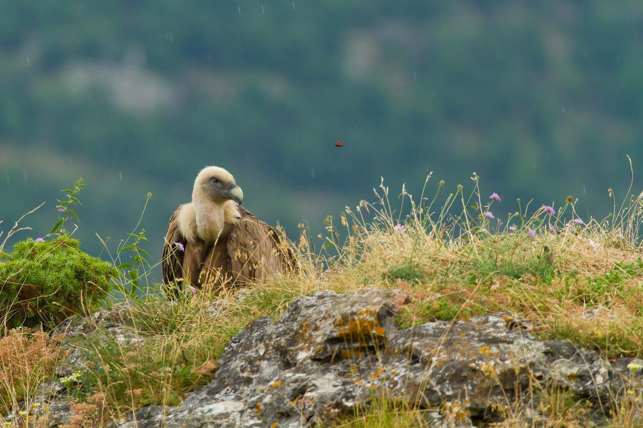 Le vautour fauve et la zygène